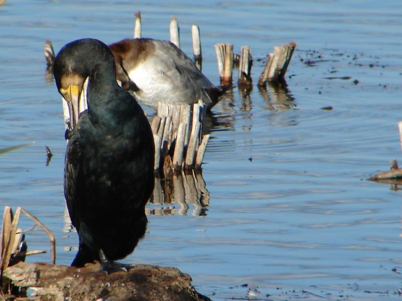 Corvo-marinho // Cormorant (Phalacrocorax carbo)