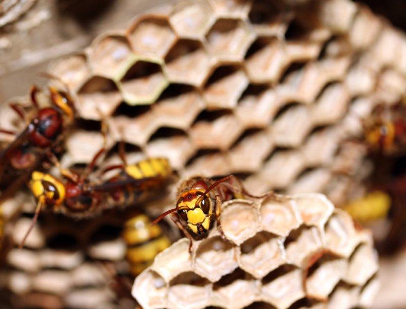 Hornet  {Vespra crabro}