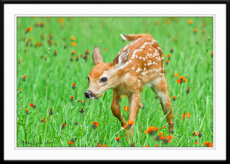 Fawn nose down