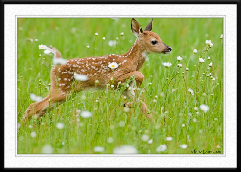 Fawn leaps through daisys