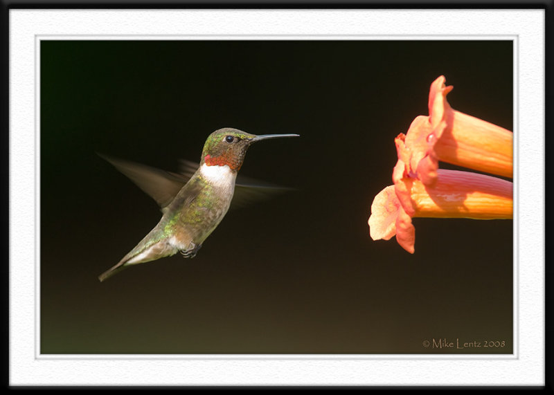 Hummer at the Trumpet vine