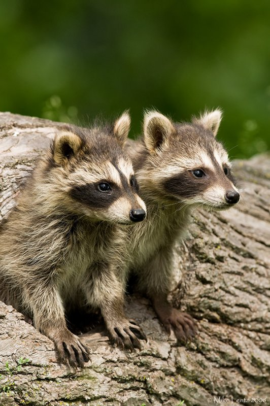 Racoon babies emerging from hole