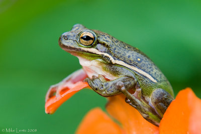 Green tree frog on orange lilly