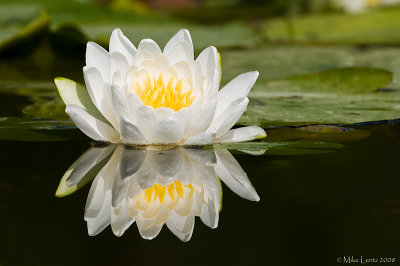 Lotus Flower reflecting