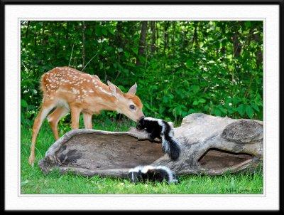 Fawn meets baby skunk