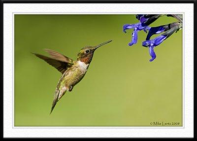 Hummingbird at Salvia