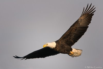 Bald eagle glides on by