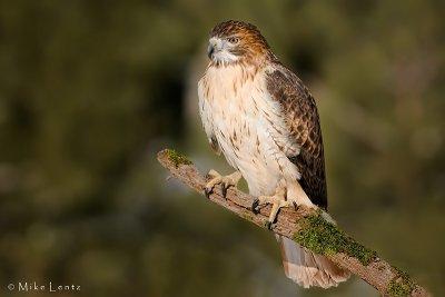 Redtailed Hawk sunning over open field