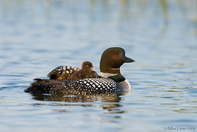 Peek a boo (find the second baby Loon)