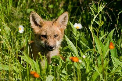 Fox between Wildflowers