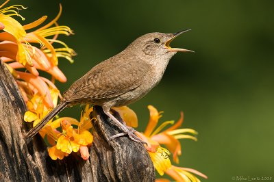 House Wren belting out a tune