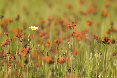 A bright spot in the Hawkweed