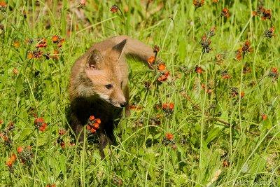 Fox baby in hawkweed