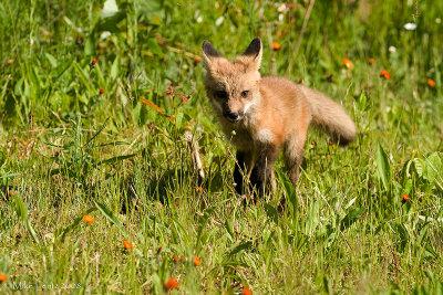 Fox pup trot