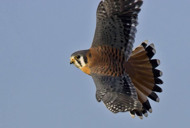 Kestrel flight