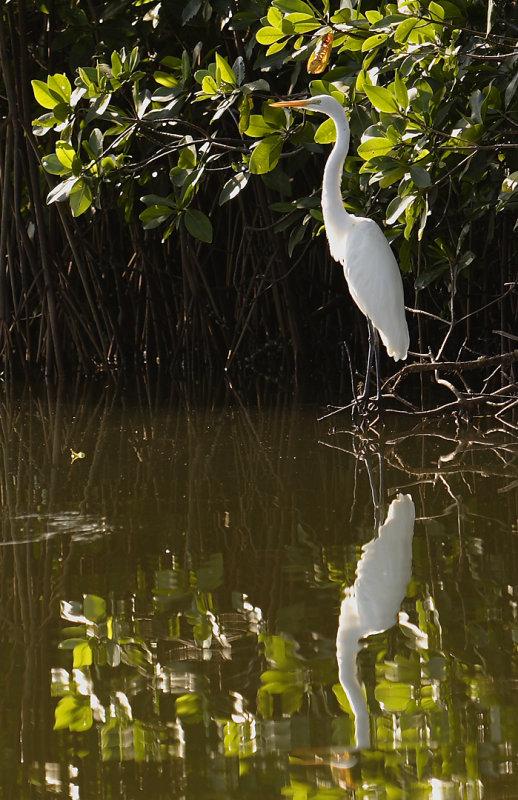 Great White Heron mangrove