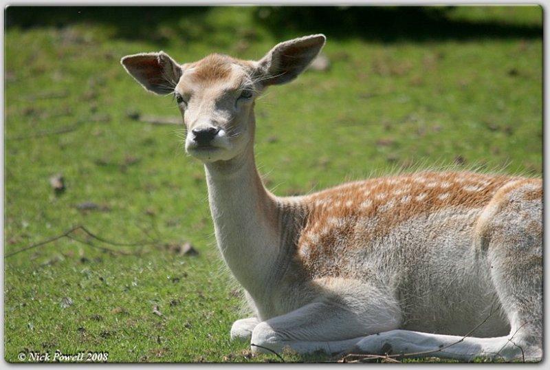 Fallow Deer @ 500mm 1/2000s f/6.3 iso 400