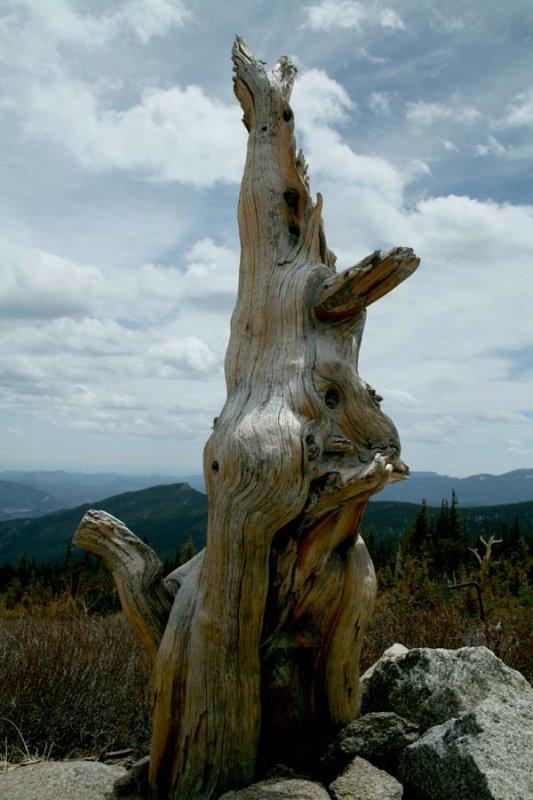 Kangaroo Tree - Mt Evans