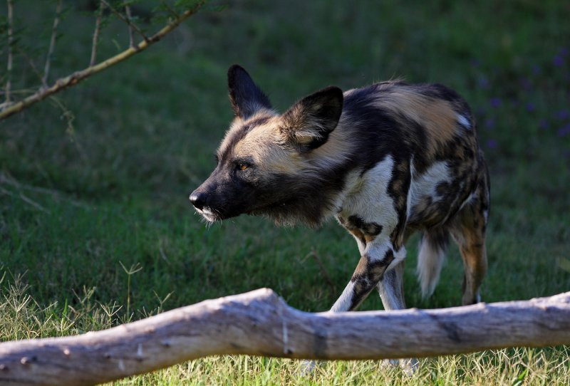African Wild Dog IMG_5738.jpg