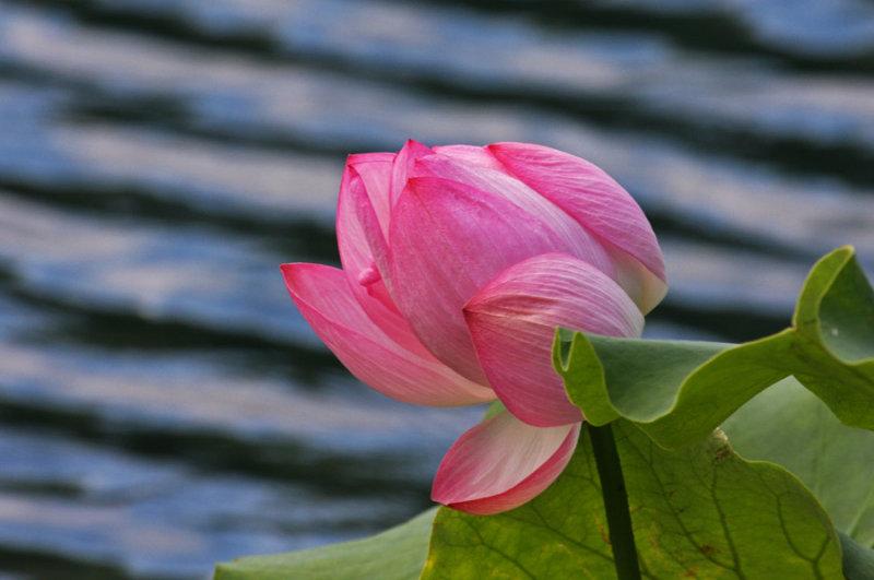 jBot-IMG_0090-lotus-900.jpg