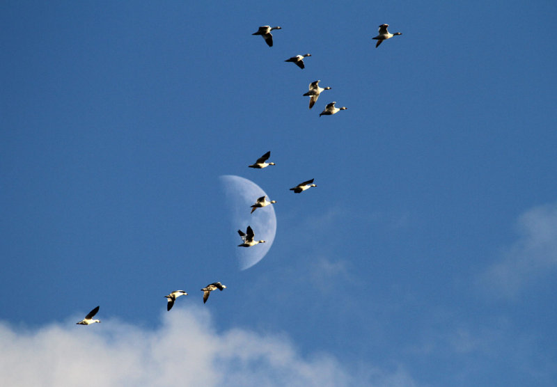 IMG_0749--oies blanches et la lune--1200.jpg