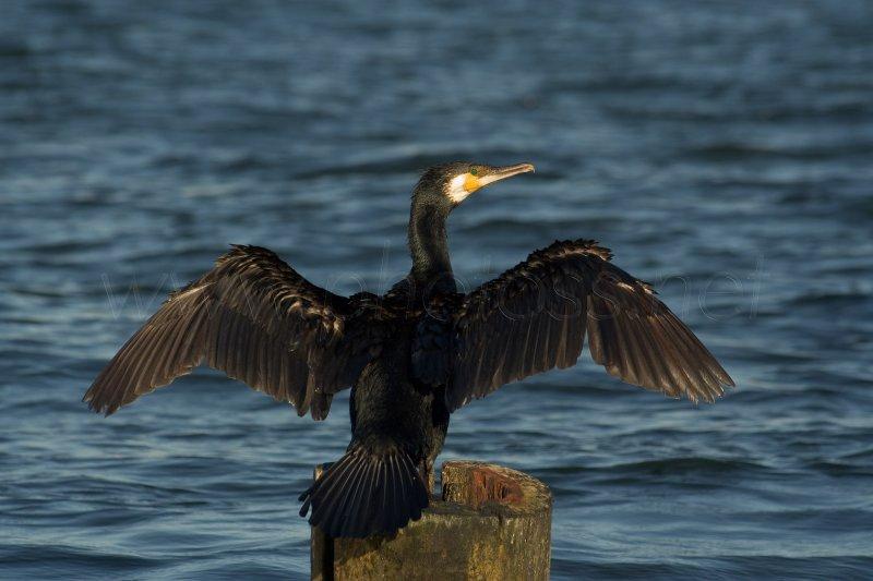 Great Cormorant II