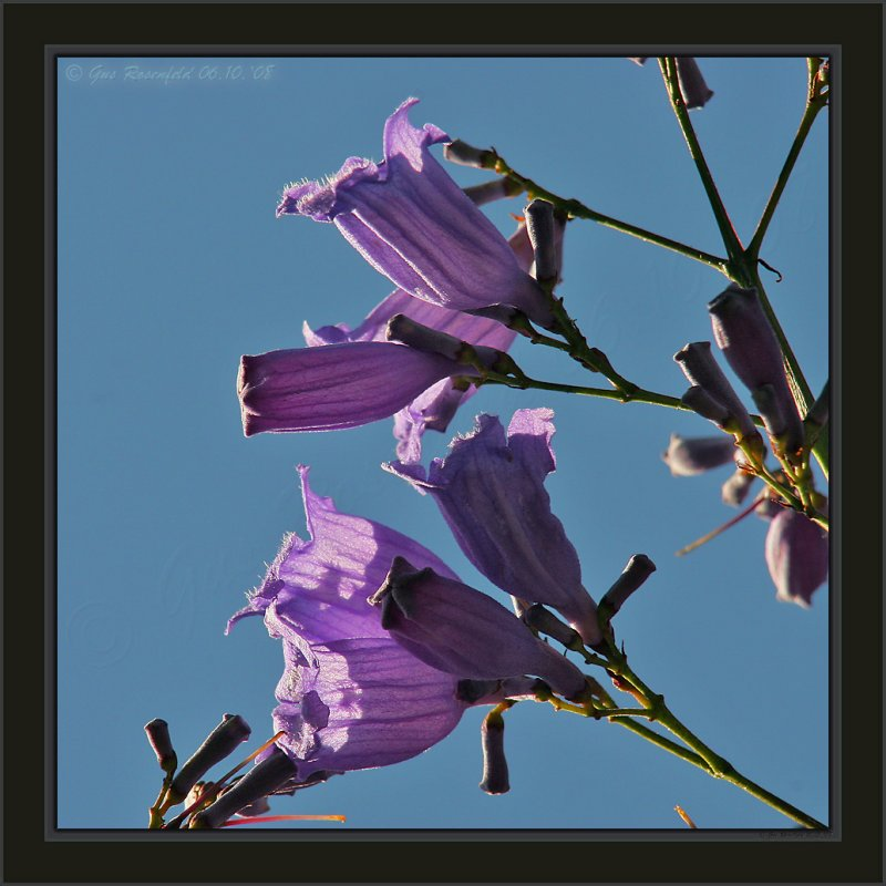 Bells & Lanterns ~ Jacaranda In Spring