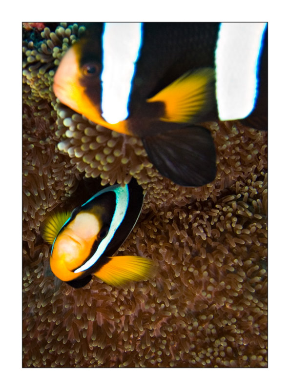 Similan islands clarkii twins