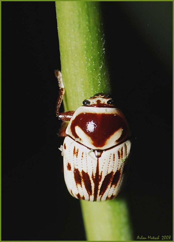 Leaf Beetle    Cryptocephalus mutabilis