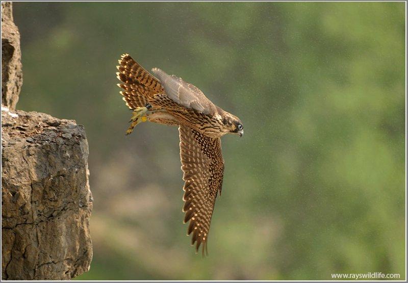 Peregrine Falcon Lift Off into the Mist 41