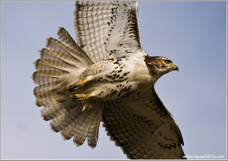 Red-tailed Hawk  212