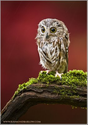 Saw-whet Owl ... Captive