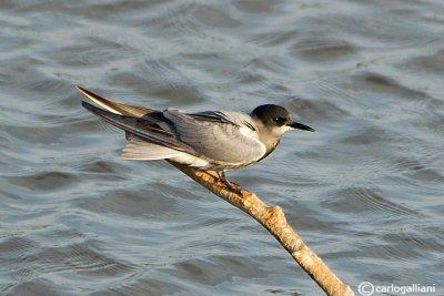 Mignattino-Black Tern (Chlidonias niger)