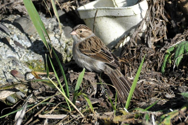 Clay Colored Sparrow Bowerman Basin