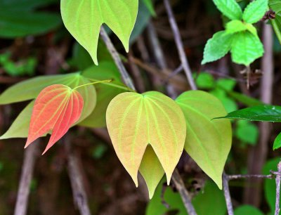 1781 Bauhinia leaf used in medicine and the stems are used to make rope.