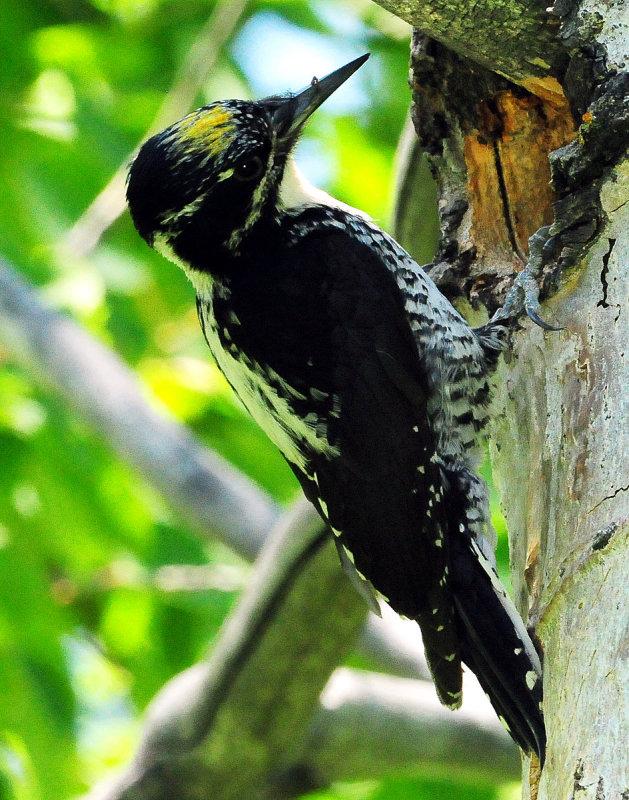 Woodpecker Three-toed D-025.jpg