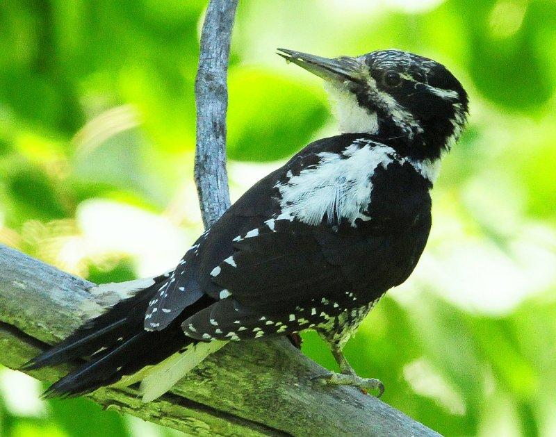 Woodpecker Three-toed D-022.jpg