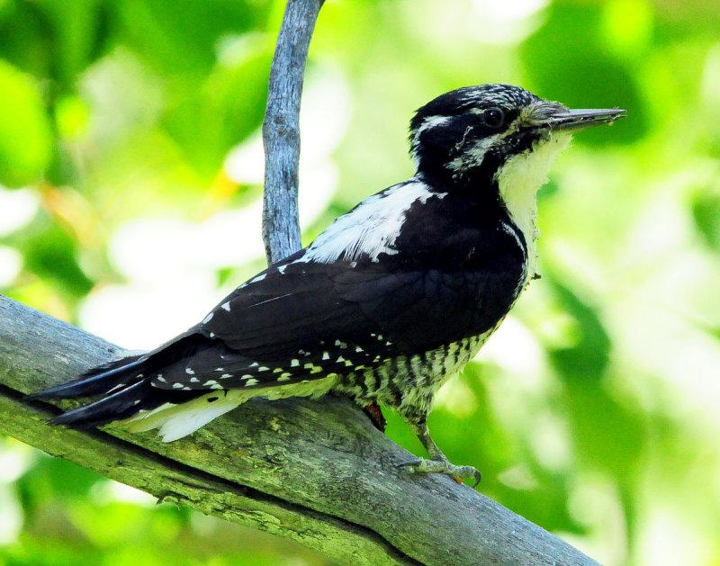 Woodpecker Three-toed D-021.jpg