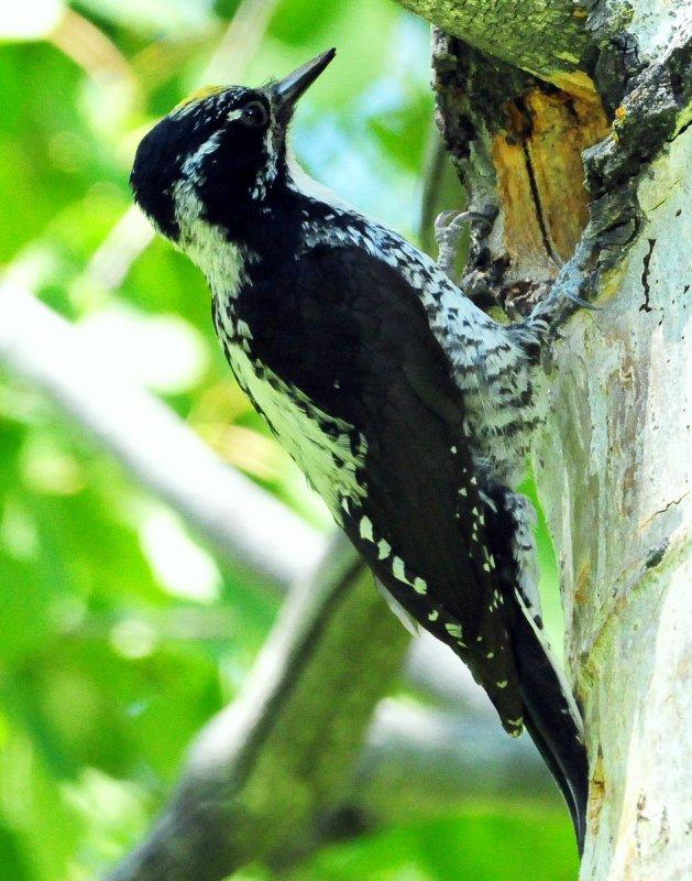 Woodpecker Three-toed D-020.jpg