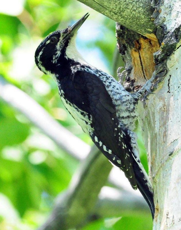 Woodpecker Three-toed D-018.jpg