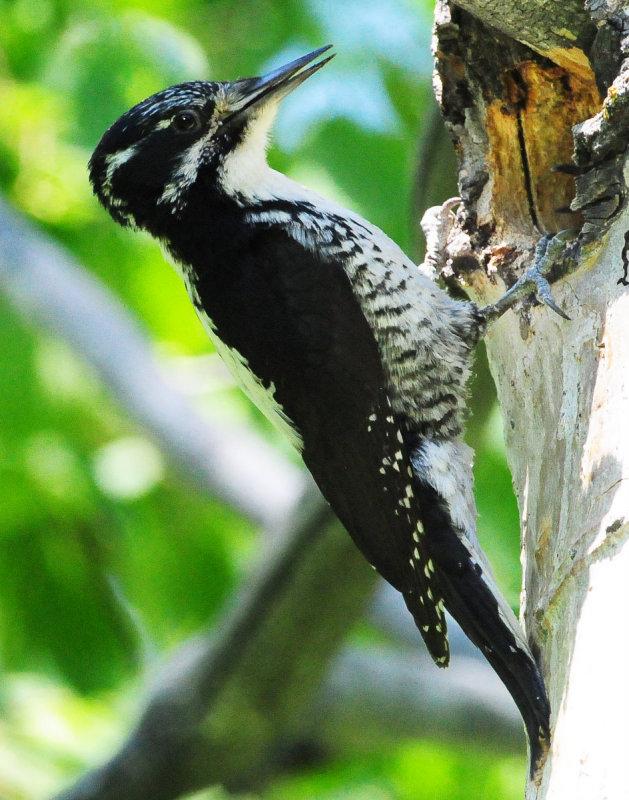 Woodpecker Three-toed D-016.jpg