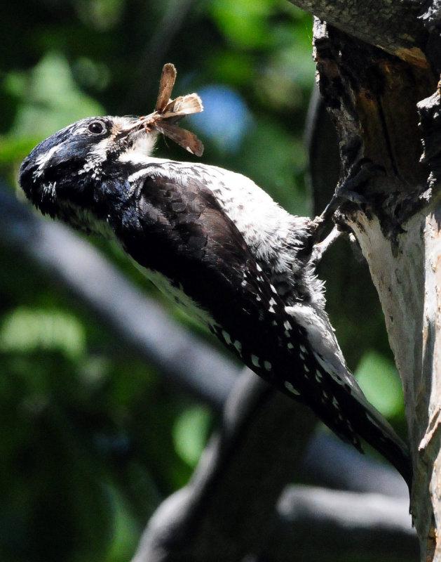 Woodpecker Three-toed D-011.jpg