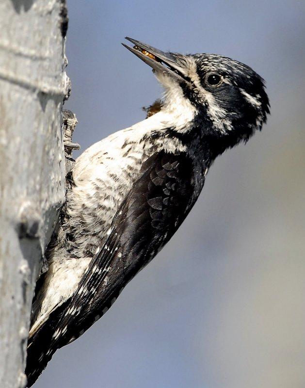 Woodpecker Three-toed D-002.jpg