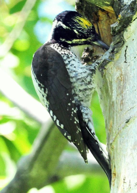 Woodpecker Three-toed D-026.jpg