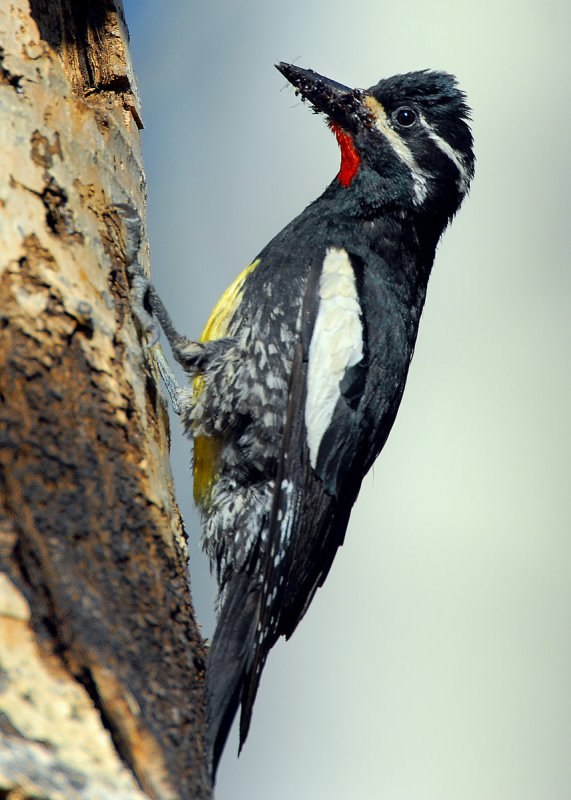 Sapsucker, Williamsons