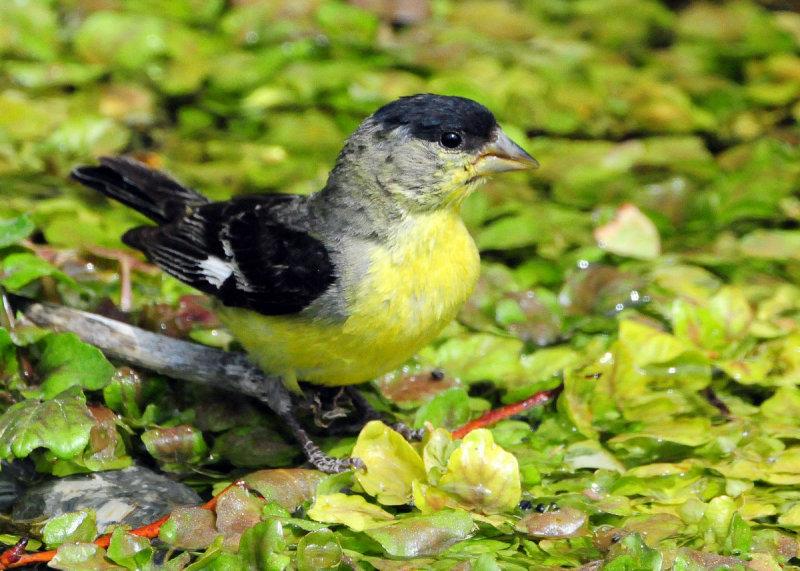 Goldfinch Lesser D-004.jpg