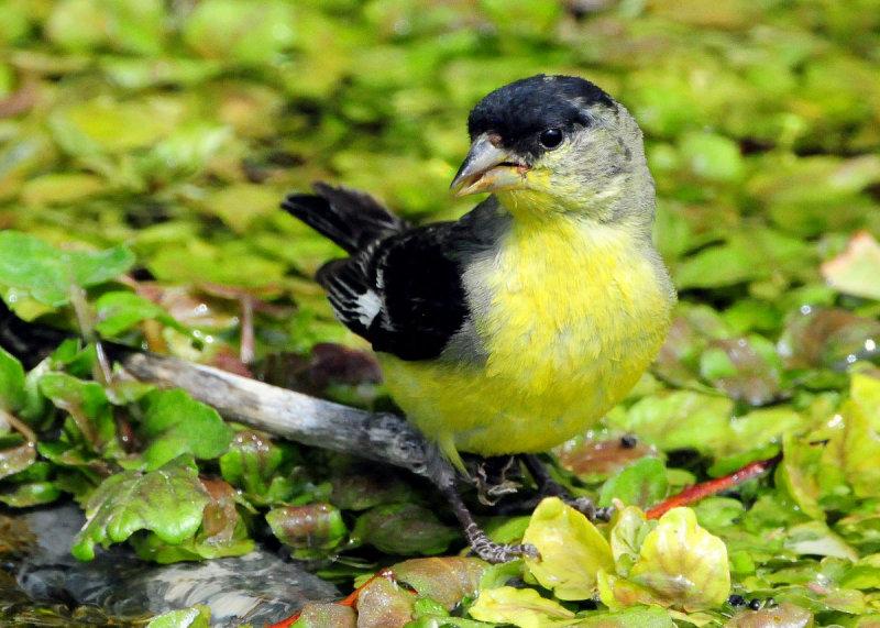 Goldfinch Lesser D-006.jpg