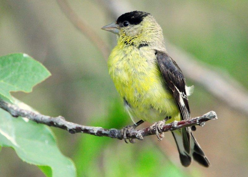 Goldfinch Lesser D-012.jpg