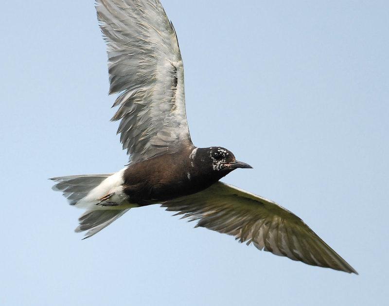 Tern Black D-203.jpg