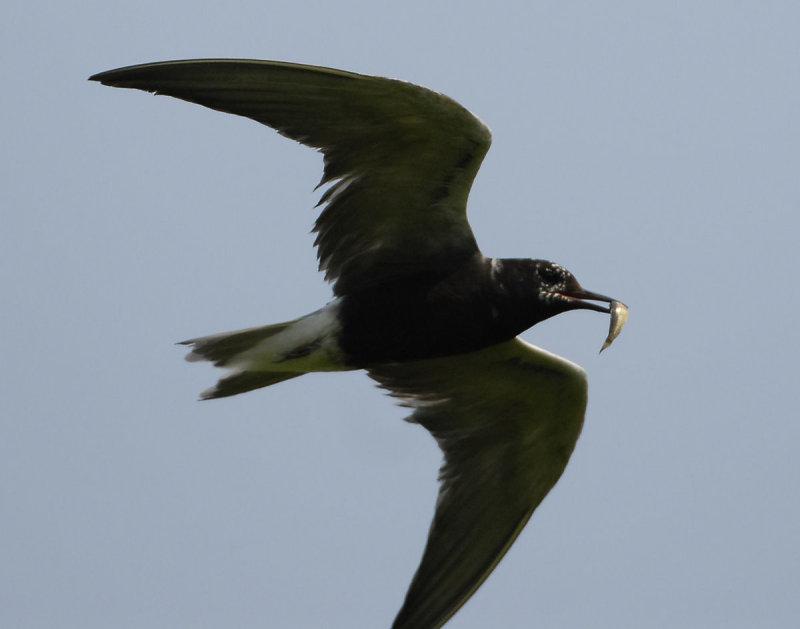 Tern Black D-205.jpg